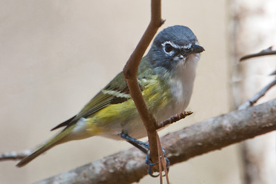 Vireo - Blue-headed - Wakulla Springs State Park - FL