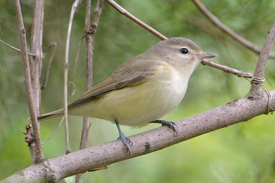 Vireo - Warbling - Fort Pierre area - SD