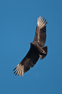 Vulture - Black - Kissimmee, FL