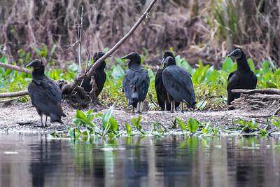 Vulture - Black - Wakulla Springs State Park - FL