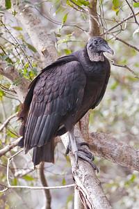 Vulture - Black - Wakulla Springs State Park, FL