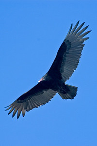 Vulture - Turkey - Wakulla Springs State Park - FL