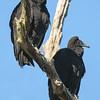 Vulture - Black - adult and juvenile - Betz-Tiger Creek Preserve State Park - Jacksonville, FL