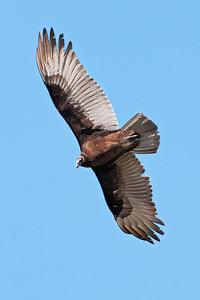 Vulture - Turkey - Bowman's Beach - Sanibel Island, FL