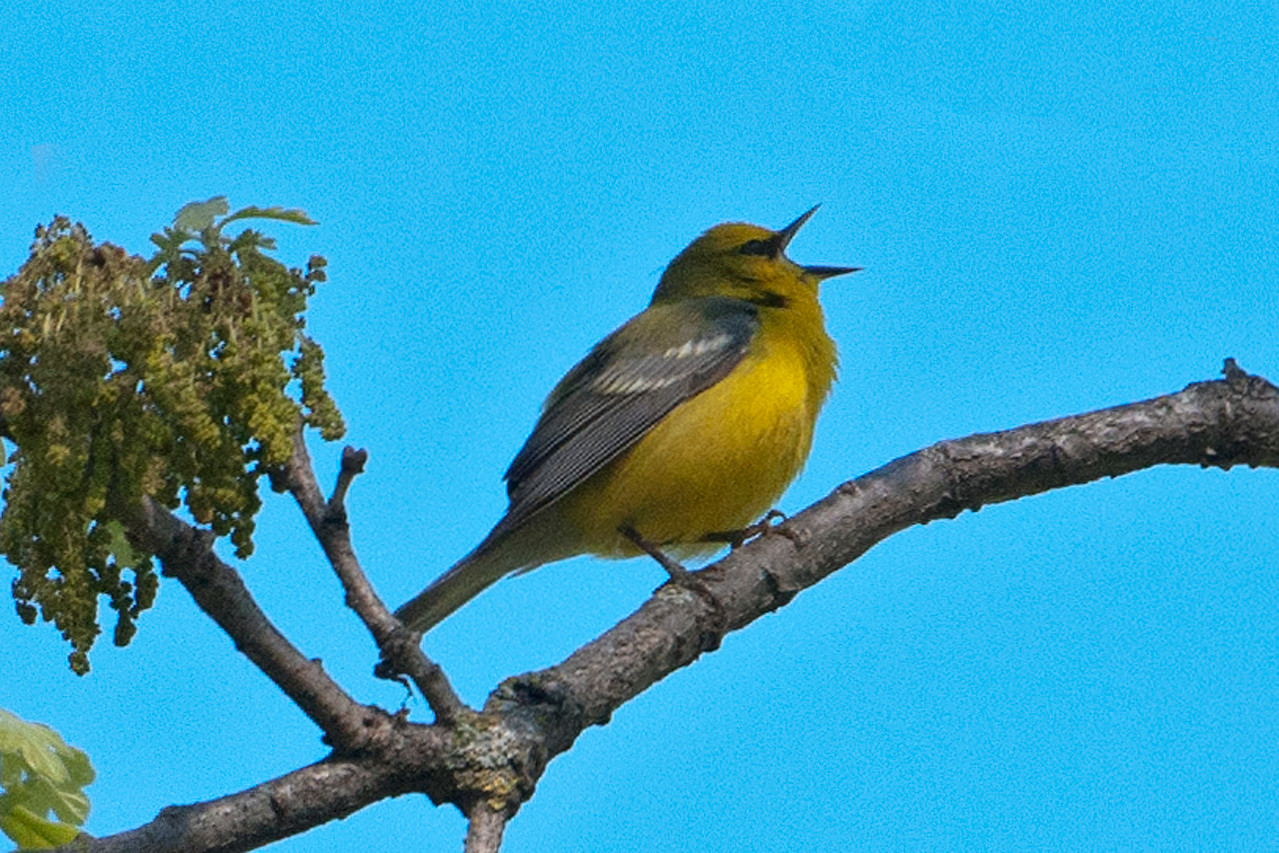 Warbler - Blue-winged - Forest History Center - Grand Rapids, MN