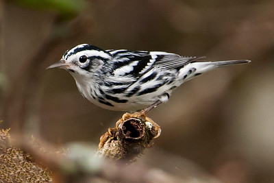 Warbler - Black and White - Corkscrew Swamp - FL