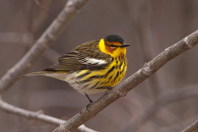 Warbler - Cape May - Ballclub Lake - Itasca County, MN