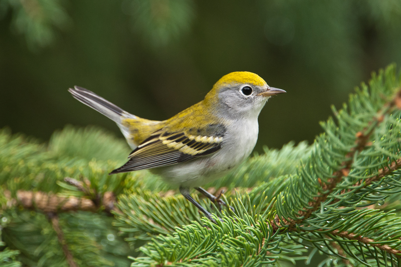 Warbler - Chestnut-sided - Dunning Lake, MN