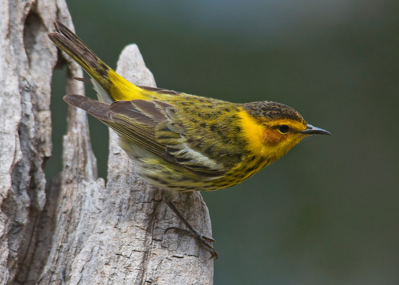 Warbler - Cape May - Dunning Lake, MN