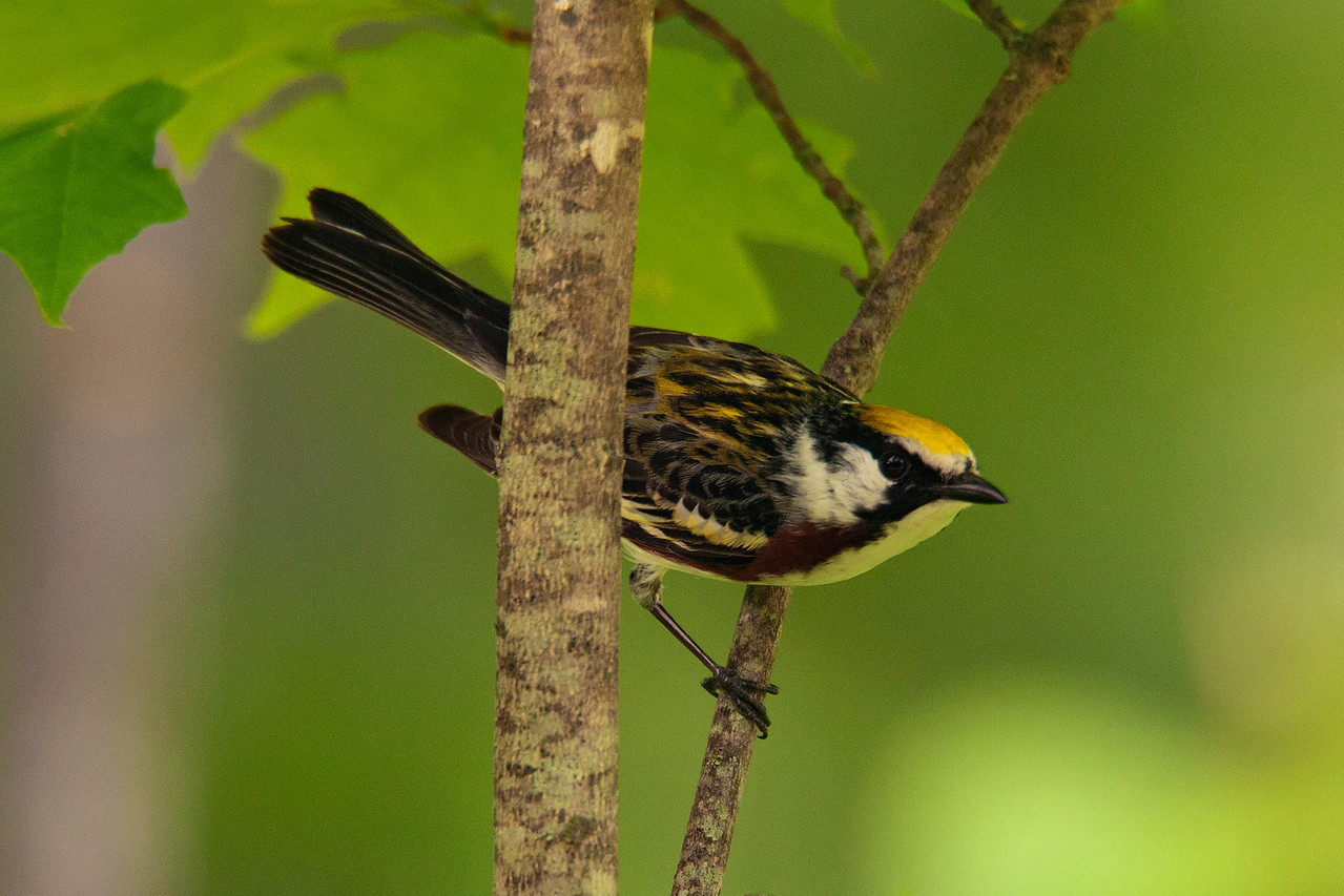 Warbler - Chestnut-sided - Grand Rapids, MN