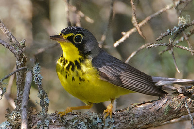 Warbler - Canada - Forest Road 158 - Cook County, MN