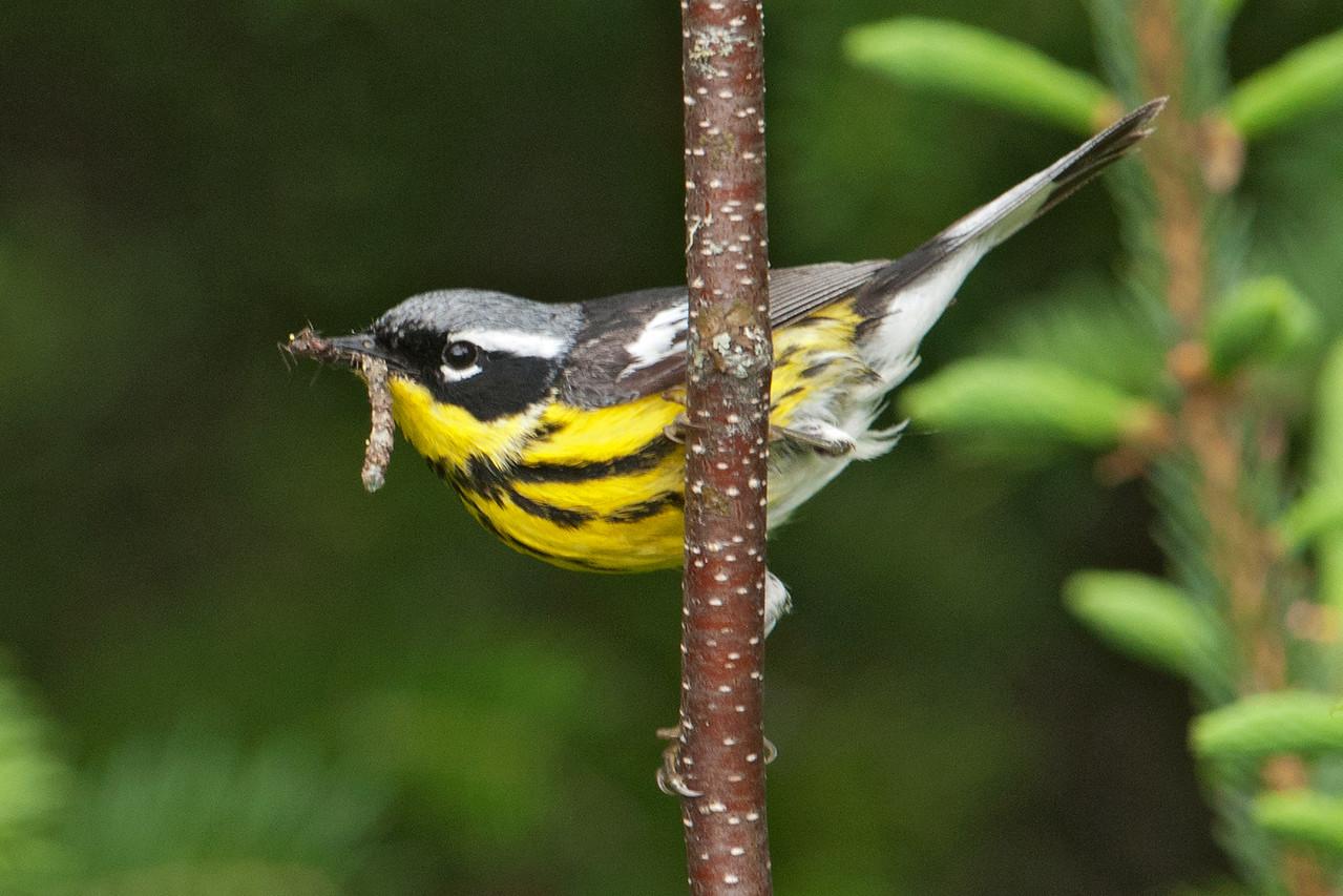 Warbler - Magnolia - Gunflint Trail - Cook County, MN