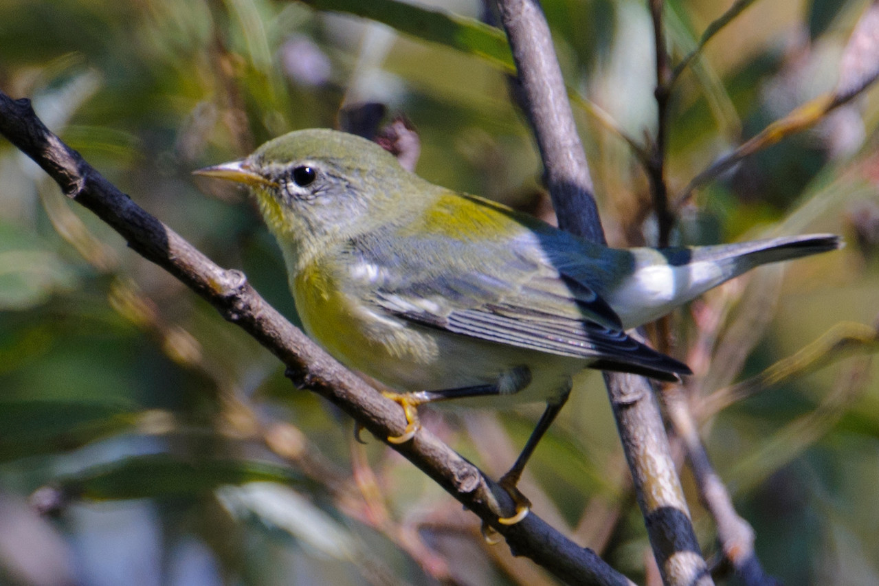 Warbler - Magnolia (1st winter plumage) - Itasca County Road 325 - MN