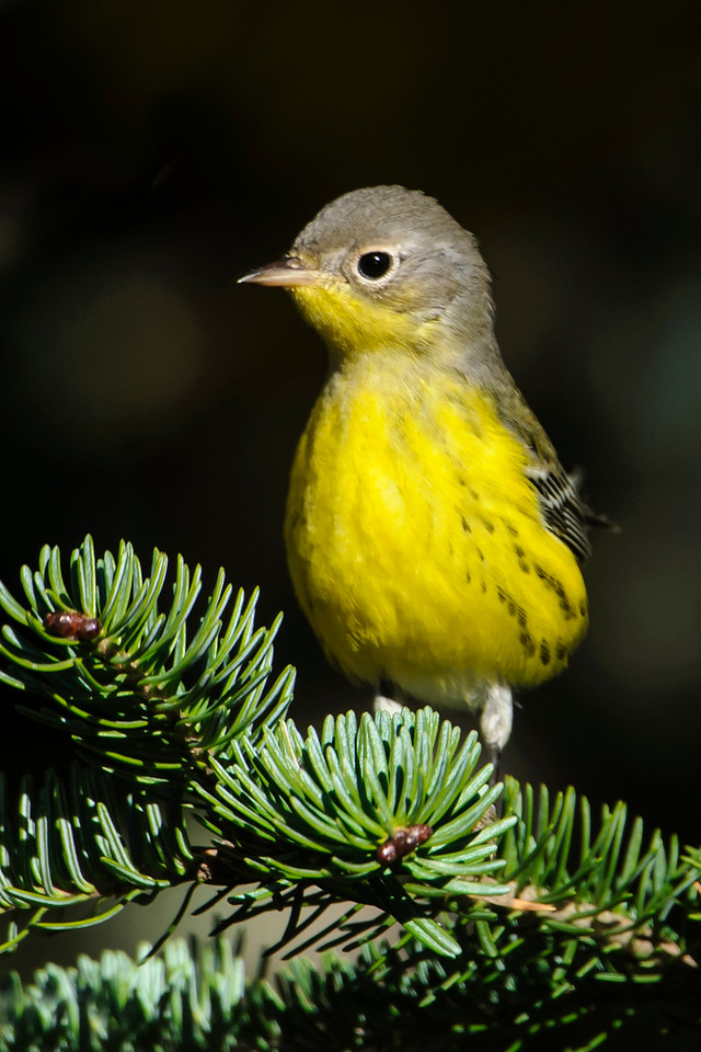 Warbler - Magnolia - Park Hill Road - Lake County, MN