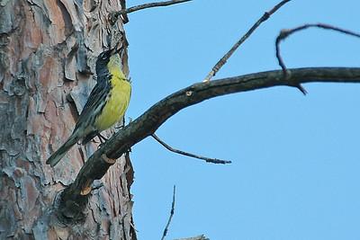 Warbler - Kirtlands - Grayling, MI