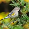 Warbler - Yellow-rumped - East General Grade Road - Lake County, MN