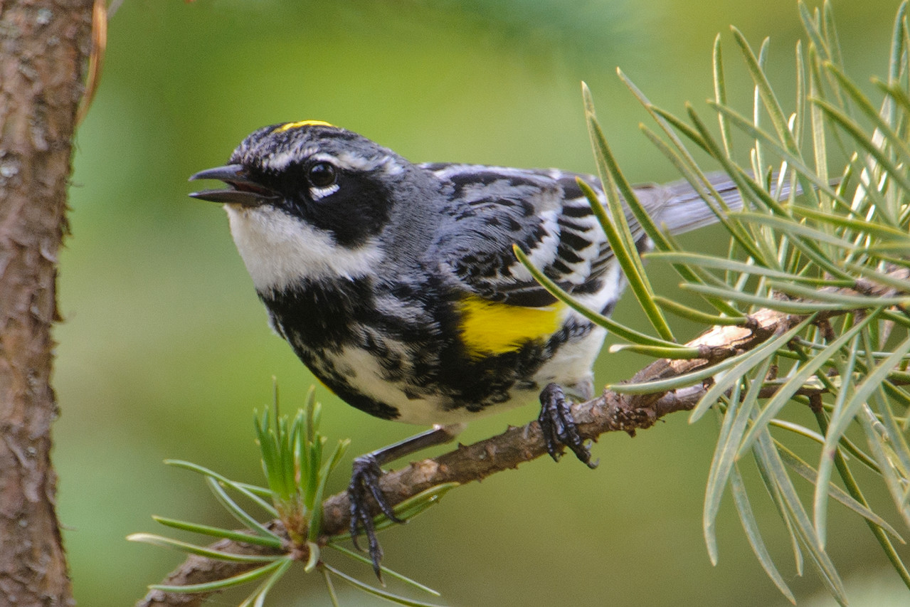 Warbler - Yellow-rumped - Forest Road 158 - Cook County, MN