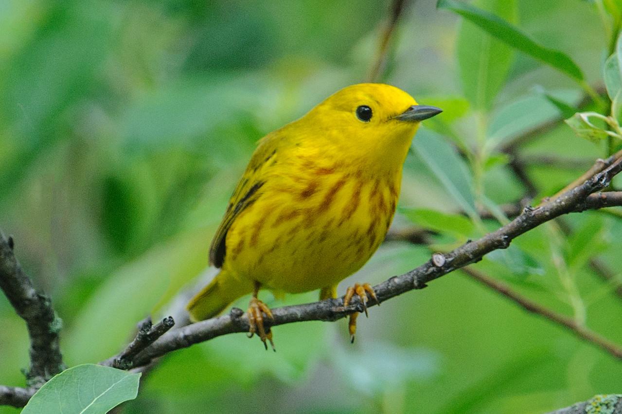 Warbler - Yellow - White Oak Lake - Deer River, MN