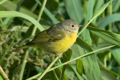Warbler - Nashville - White Oak Lake - Deer River, MN