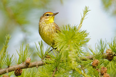 Warbler - Palm - Itasca County Road 72 - MN