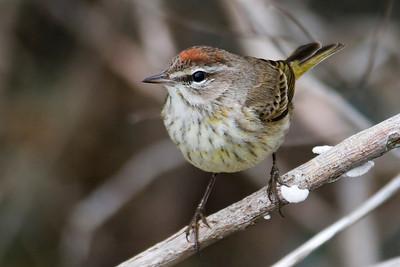 Warbler - Palm - Altamaha WMA, GA