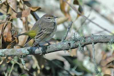 Warbler - Palm - Apalachicola, FL