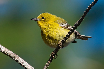 Warbler - Pine - Apalachicola National Forest - FL