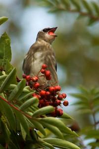 Waxwing -Cedar - juvenile - Little Marais, MN