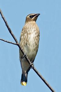 Waxwing - Cedar - juvenile - Beaver Bay, MN