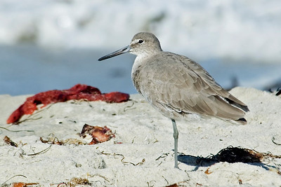 Willet - Monterey Peninsula, CA