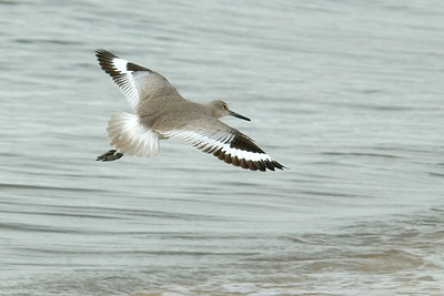 Willet - Carrabelle Beach - FL