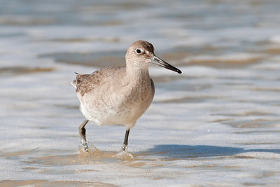 Willet - Mexico Beach, FL