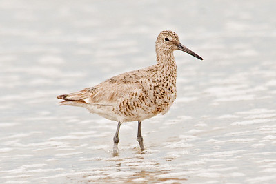 Willet - Pea Island NWR - NC