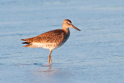 Willet - South Point - Ocracoke Island, NC