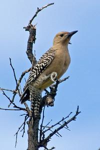 Woodpecker - Gila - female - Buenos Aires NWR - AZ