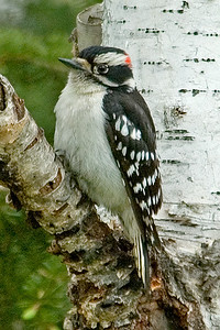 Woodpecker - Downy - male - Dunning Lake - Itasca County, MN