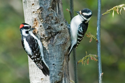 Woodpecker - Downy - male and female - Dunning Lake - Itasca County, MN