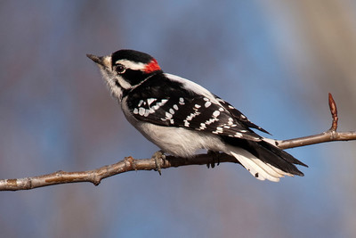 Woodpecker - Downy - male - Itasca County Road 61 - MN