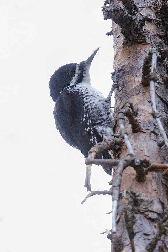 Woodpecker - Black-backed - female - Scenic State Park - Itasca County, MN
