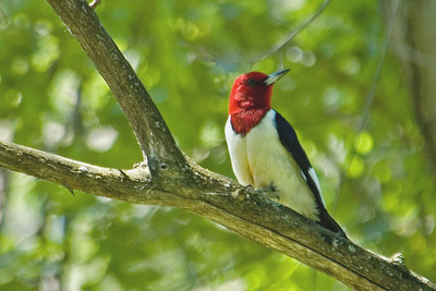 Woodpecker - Red-headed - Anoka County, MN