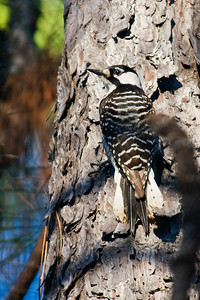 Woodpecker - Red-cockaded - Brickyard Road - Apalachicola National Forest, FL