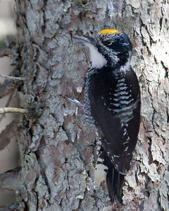 Woodpecker - American Three-toed - male  - Itasca County, MN