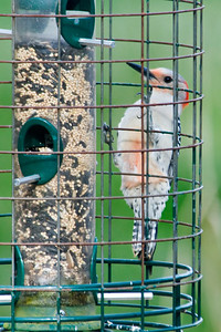 Woodpecker - Red-bellied - Tall Timbers Research Station - Tallahassee, FL