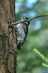 Woodpecker - Black-backed - Scenic State Park - Itasca County, MN