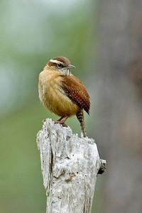 Wren - Carolina - Apalachicola National Forest - FL