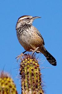 Wren - Cactus - Organ Pipe National Monument - AZ
