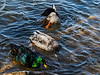 "Gee ... Dash, dash, dot is Morse code for ""G""<br /> Domestic ducks which now live wild on the Huron River.<br /> <br /> These ducks are slightly larger than wild mallards, and are much more variable in color.<br /> <br /> Gallup Park,<br /> March 17, 2013"