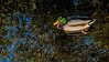 Featured:  Mallard drake with fall reflections