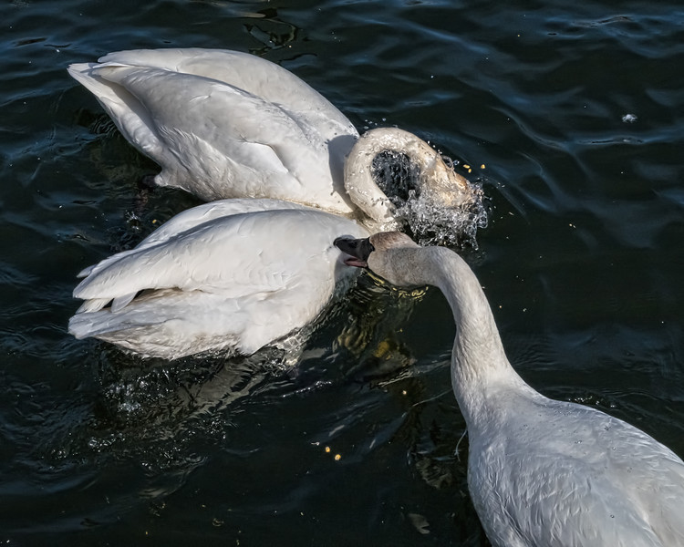 Swan's choice - bite or feed?