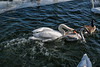 Adult mute swan muscling in on a juvenile trumpeter swan
